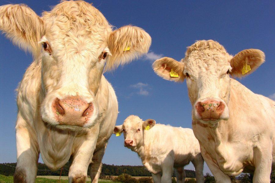 Kühe, Landwirtschaft, Landwirte